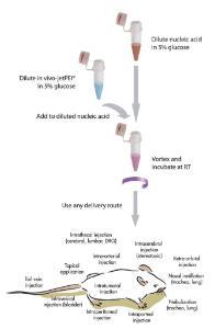 DNA/siRNA-Transferreagenz,<i> in vivo</i>-jetPEI®