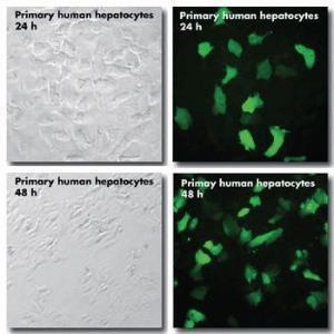 DNA-Transfektionsreagenz, jetPEI®-Hepatocyte