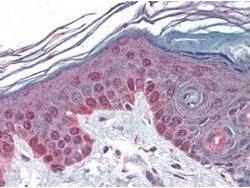 Anti-CCNT1 Rabbit Polyclonal Antibody