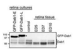 Anti-DAB1 Rabbit Monoclonal Antibody (Unconjugated) [clone: AC240]