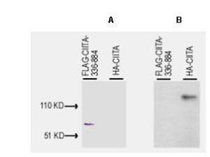 Anti-CIITA Rabbit Polyclonal Antibody