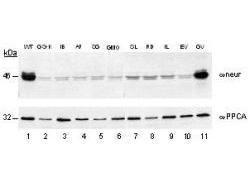 Anti-NEU1 Rabbit Polyclonal Antibody