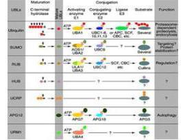 Anti-CUL9 Rabbit Polyclonal Antibody
