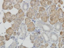 Anti-COX4I2 Mouse Monoclonal Antibody