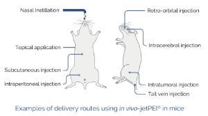 <i>in vivo</i>-jetPEI® mice administration routes
