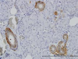 Anti-FXYD2 Mouse Monoclonal Antibody