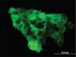 Anti-WWP1 Mouse Monoclonal Antibody