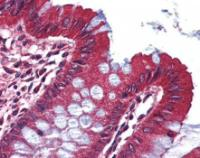 Immunohistochemical staining of paraffin embedded human colon tissue using KCNA3 antibody (primary antibody at 1:200)