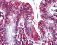 Immunohistochemical staining of paraffin embedded human colon tissue using OLFM4 antibody (primary antibody at 1:200)