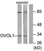Western blot analysis of extracts from K562 cells and A549 cells using OVOL1 antibody
