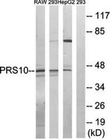 Western blot analysis of extracts from RAW264.7 cells, 293 cells and HepG2 cells using PSMC6 antibody