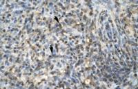 Antibody used in IHC on Human Spleen at 4.0-8.0 ug/ml.